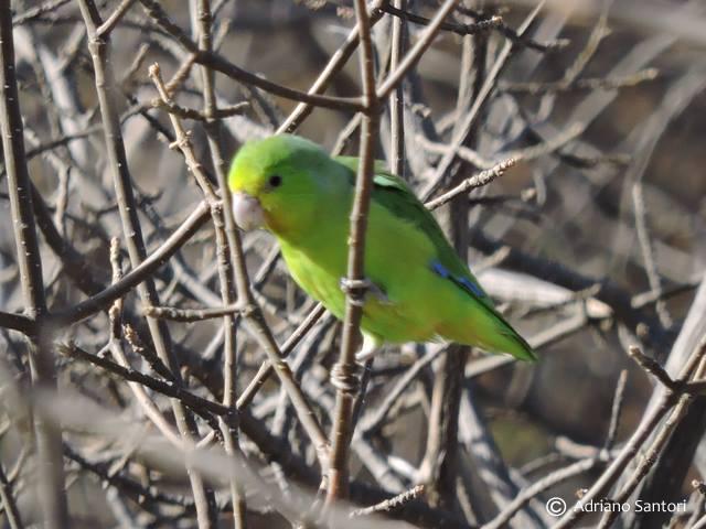 papacu-adriano-santori-guyraimpiakaba-1
